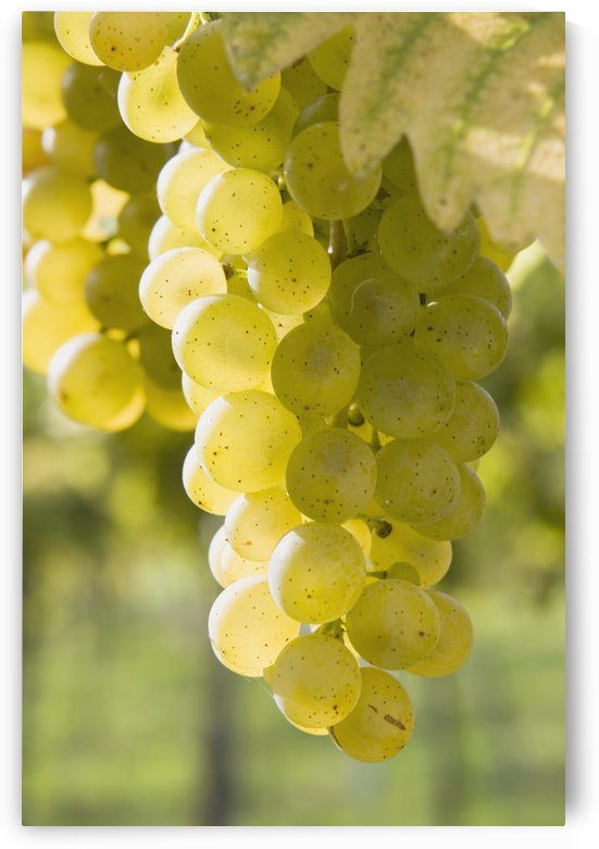 White Grapes by PacificStock