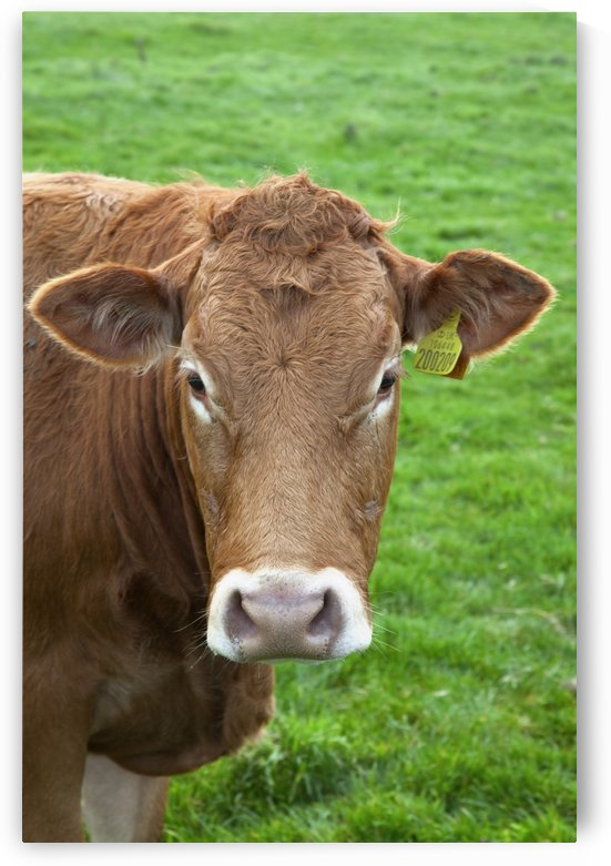 A Cow by PacificStock