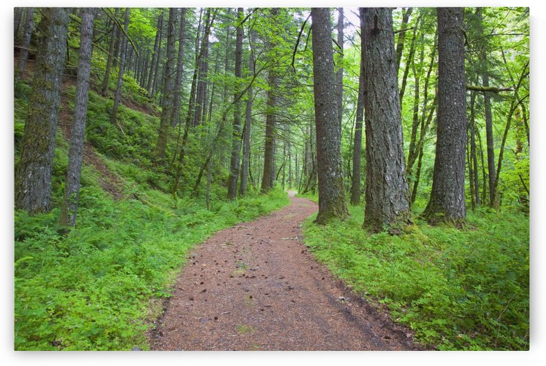 Columbia River Gorge National Scenic Area, Oregon, United States Of America; Path Running Through The Forest by PacificStock