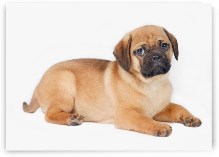 Pug Dog by PacificStock