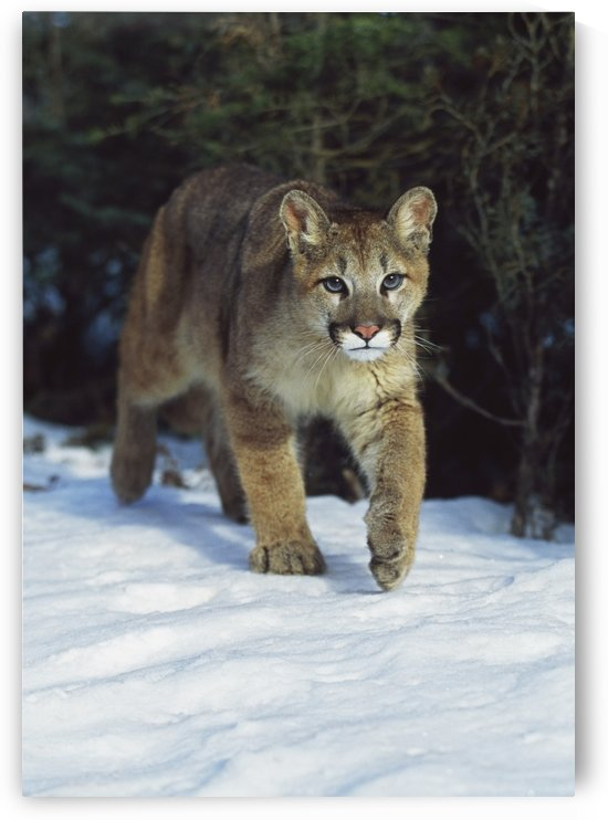 Mountain Lion (Felis Concolor); Idaho, Usa by PacificStock
