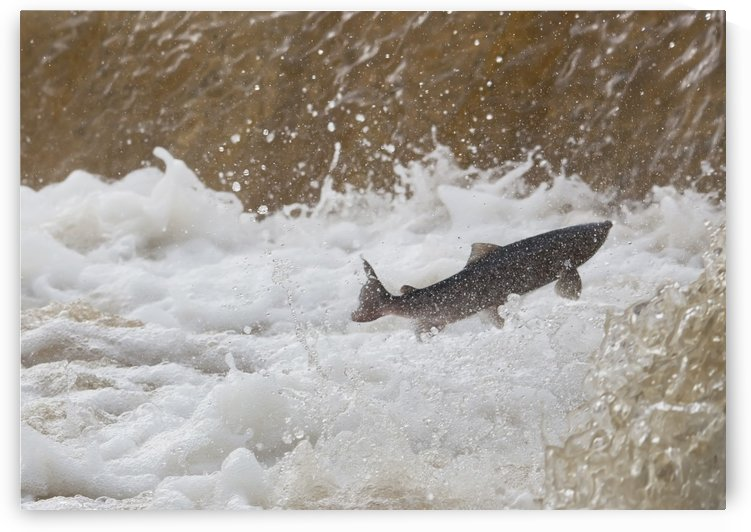 Fish Jumping Upstream In The Water by PacificStock