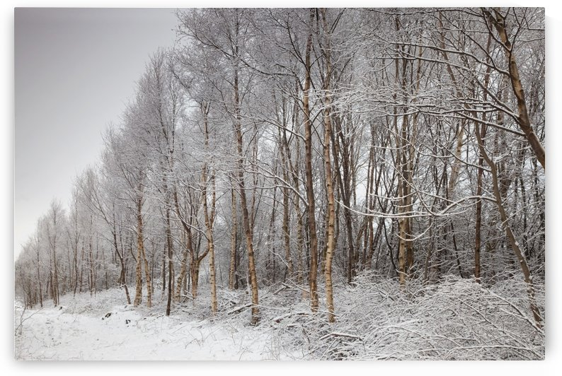 Northumberland, England; A Trail Lined With Trees In The Winter by PacificStock