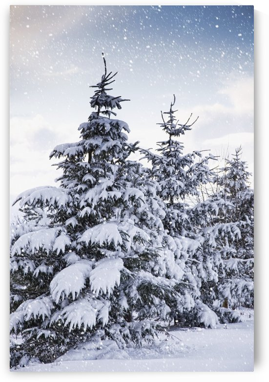 Northumberland, England; Snow-Covered Trees In The Falling Snow by PacificStock