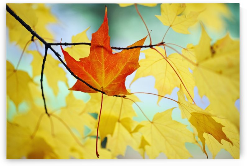 Oregon, United States Of America; An Orange Leaf Fallen On Yellow Leaves by PacificStock