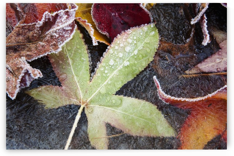 Autumn Colored Leaves Frozen In A Creek by PacificStock