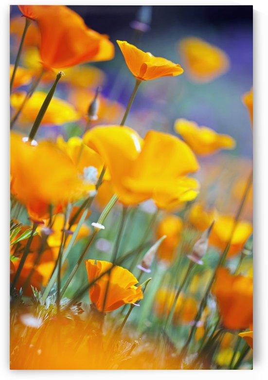 California Poppies by PacificStock