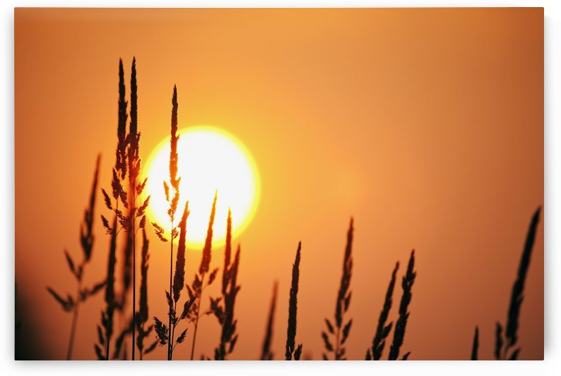 Tall Grass In A Sunset by PacificStock