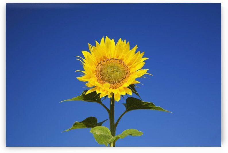 Laval, Quebec, Canada; Sunflower (Helianthus Annuus) Against A Blue Sky by PacificStock