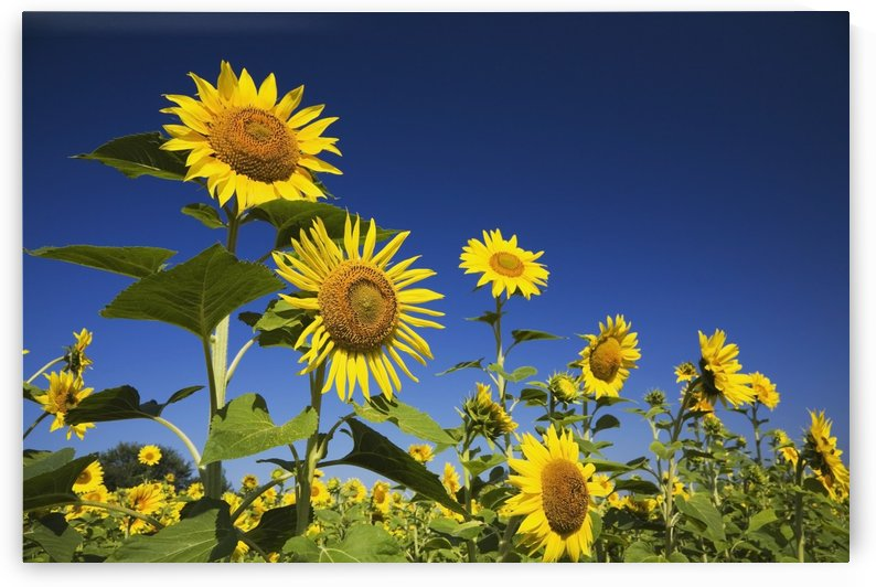 Laval, Quebec, Canada; Sunflowers (Helianthus Annuus) Against A Blue Sky by PacificStock