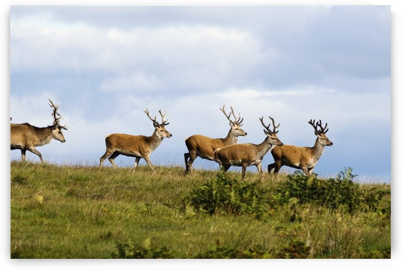 Isle Of Islay, Scotland; Deer On The Top Of A Hill by PacificStock