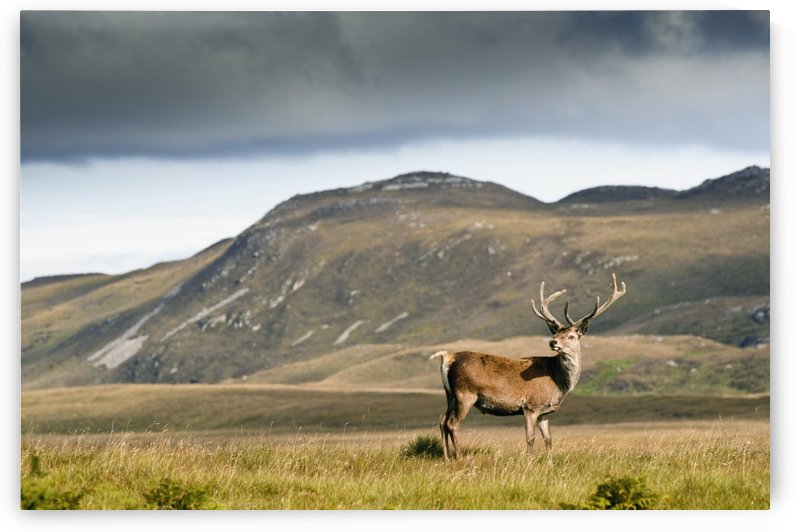 Isle Of Islay, Scotland; A Deer Standing In A Field by PacificStock