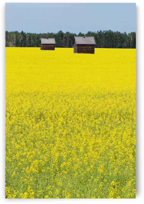 Alberta, Canada; Two Wooden Shacks In A Canola Field by PacificStock