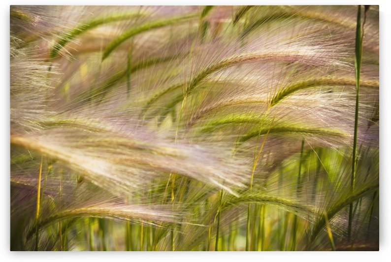 Prairie Grass Blowing In The Wind; Mayo, Yukon by PacificStock