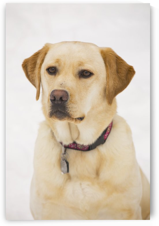 Golden Labrador Retriever Dog by PacificStock