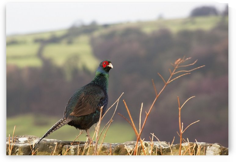 Northumberland, England; A Bird With A Red Patch Of Feathers Around It's Eye by PacificStock