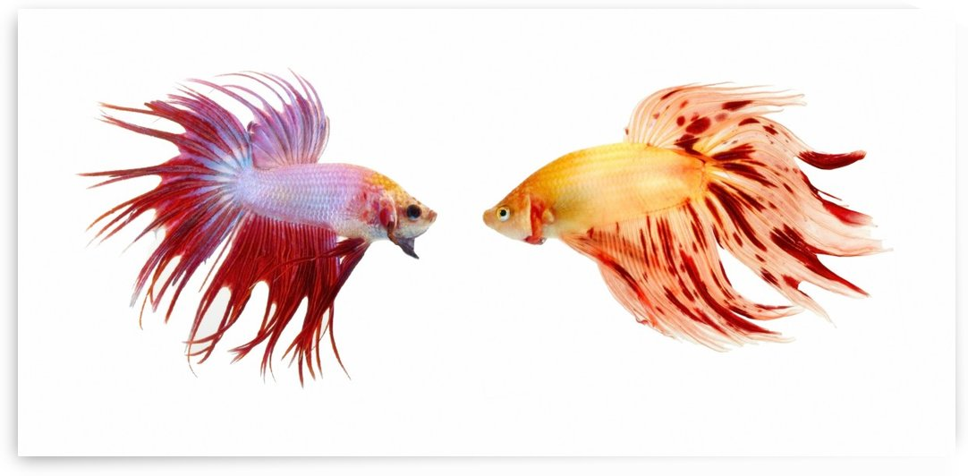 Two Colorful Fish With Long Fins by PacificStock