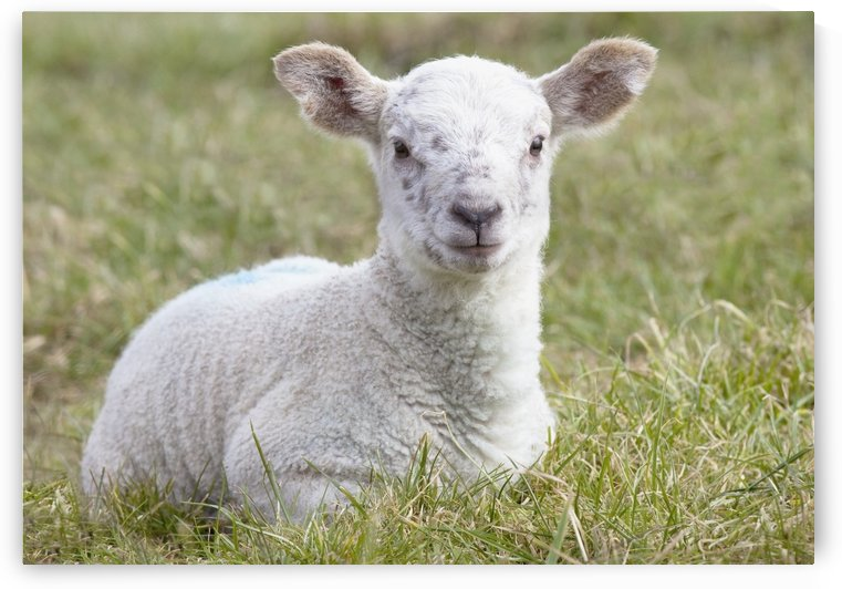 Northumberland, England; A Lamb by PacificStock