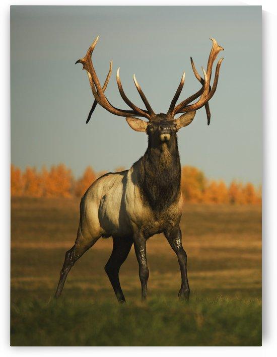 Alberta, Canada; Elk (Cervus Canadensis) by PacificStock