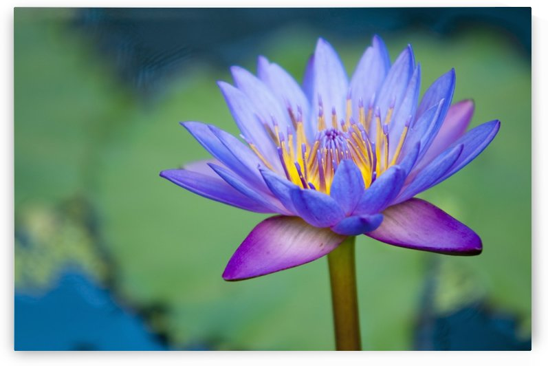 A Lotus Flower (Nelumbo Nucifera); Chiang Mai, Thailand by PacificStock