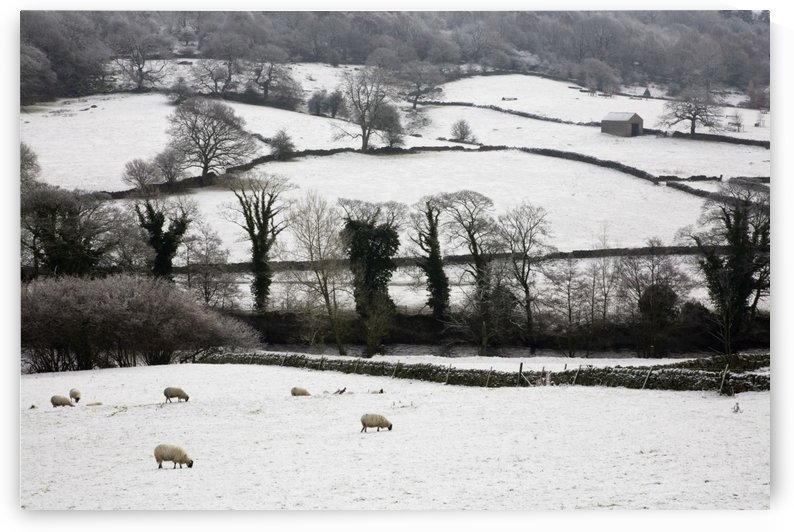 Derwent Valley, Derbyshire, England; Sheep Grazing In The Snow In Peak District National Park by PacificStock
