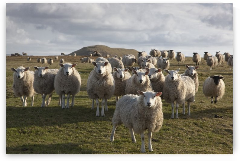 Northumberland, England; A Flock Of Sheep In A Field by PacificStock