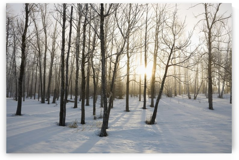 Ontario, Canada; The Sunlight Shining Through The Trees In A Forest In Winter by PacificStock