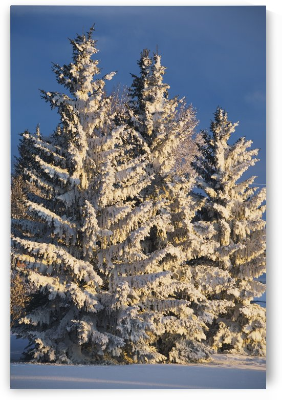 Calgary, Alberta, Canada; Snow Covered Evergreen Trees At Sunrise by PacificStock