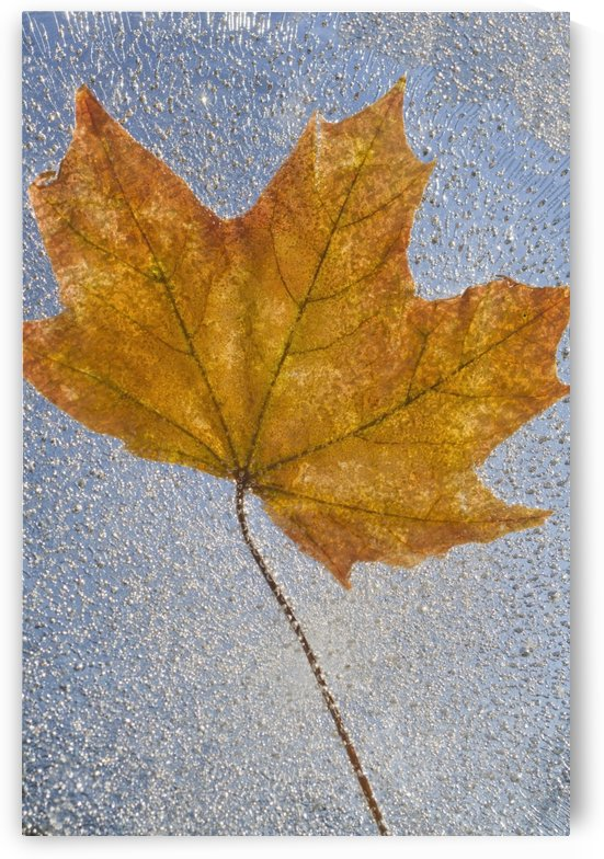 Portland, Oregon, United States Of America; Autumn Leaf Encased In Ice by PacificStock