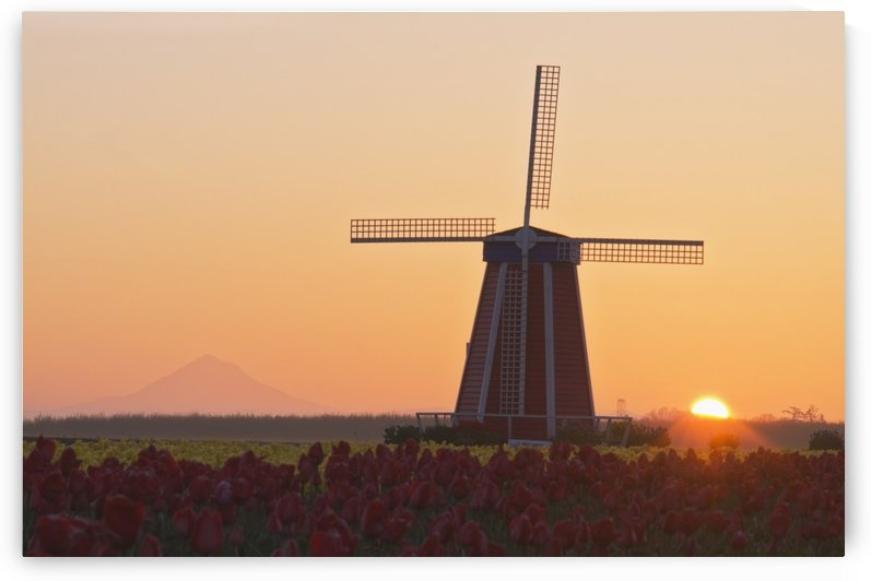 Woodburn, Oregon, United States Of America; Wooden Shoe Tulip Farm At Sunrise With Mount Hood In The Background by PacificStock