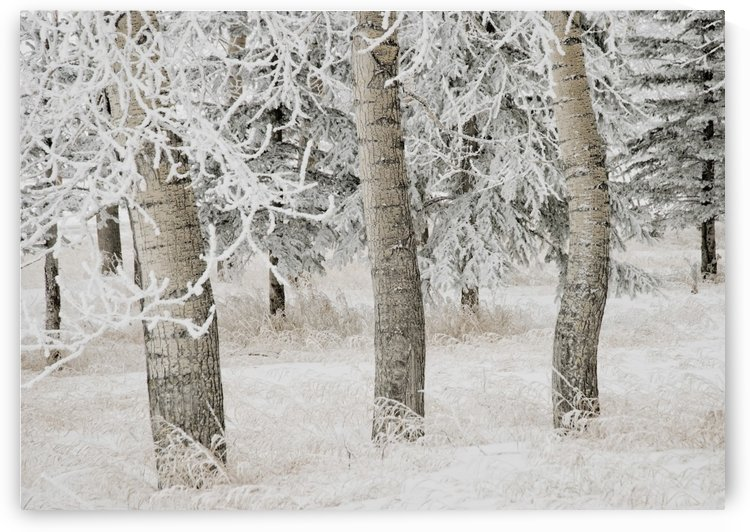 Calgary, Alberta, Canada; White Aspens In Winter by PacificStock