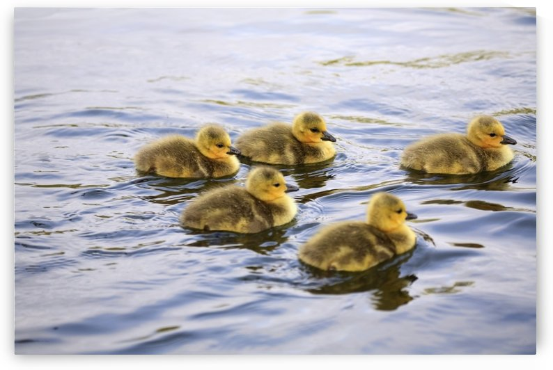 Five Goslings In The Water by PacificStock