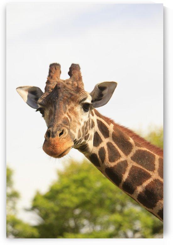 Buenos Aires, Argentina; Giraffe (Giraffa Camelopardalis) In Palermo Zoological Gardens by PacificStock