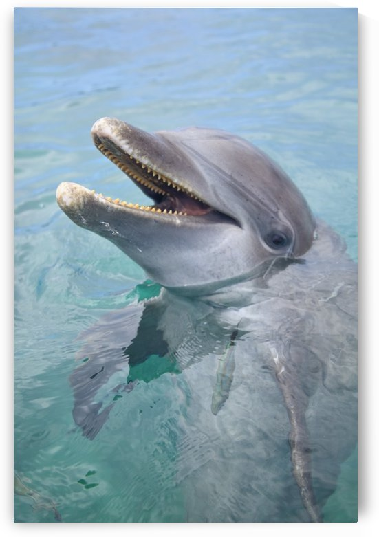 Roatan, Bay Islands, Honduras; A Bottlenose Dolphin (Tursiops Truncatus) In The Water At Anthony's Key Resort by PacificStock