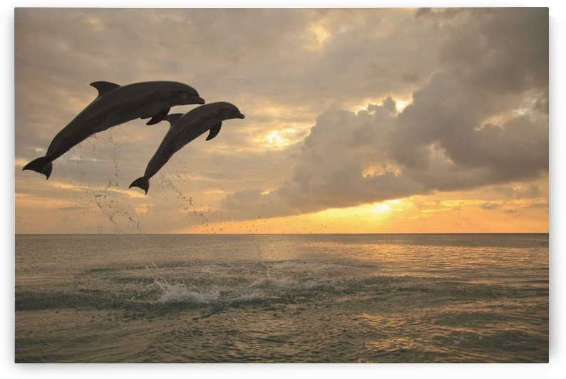 Roatan, Bay Islands, Honduras; Two Bottlenose Dolphins (Tursiops Truncatus) Jumping Out Of The Water At Anthony's Key Resort At Sunset by PacificStock