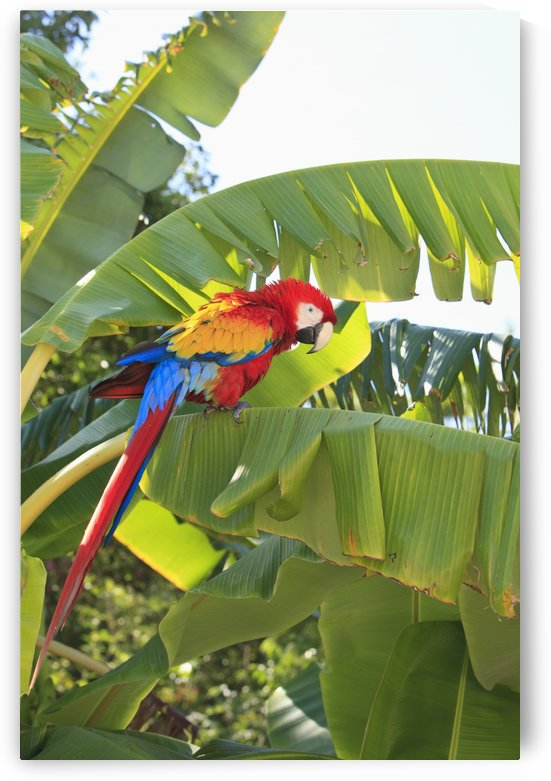 Roatan, Bay Islands, Honduras; A Scarlet Macaw (Ara Macao) In The Rehab Center & Forest Preserve On Mango Key Across From Coxen Hole by PacificStock
