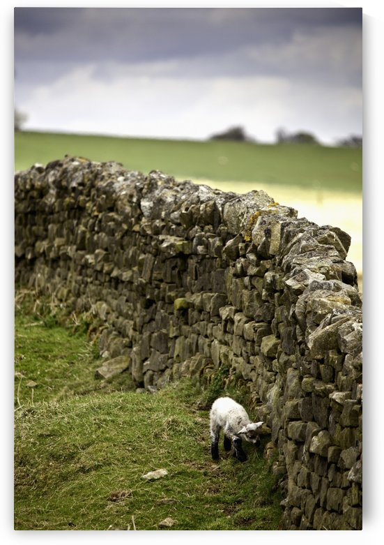 Northumberland, England; A Lamb Walking Along A Stone Wall by PacificStock