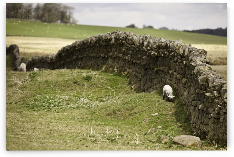 Northumberland, England; Sheep Grazing Along A Stone Wall by PacificStock