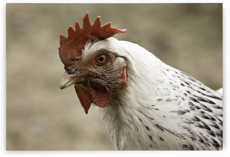 The Head Of A Rooster by PacificStock