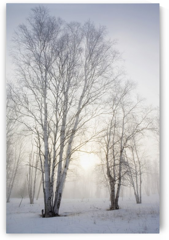 Ontario, Canada; Birch Trees In The Fog In Winter by PacificStock