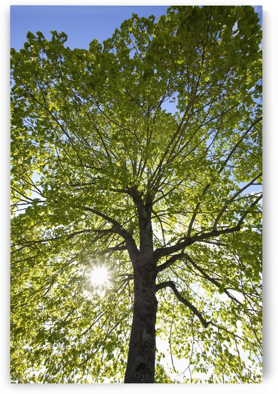 Oregon, United States Of America; Sunlight Shining Through A Tree by PacificStock