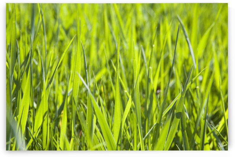 Calgary, Alberta, Canada; Blades Of Grass by PacificStock