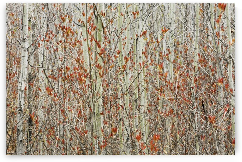 Spring Buds Against Birch Trees; Hymers, Ontario, Canada by PacificStock