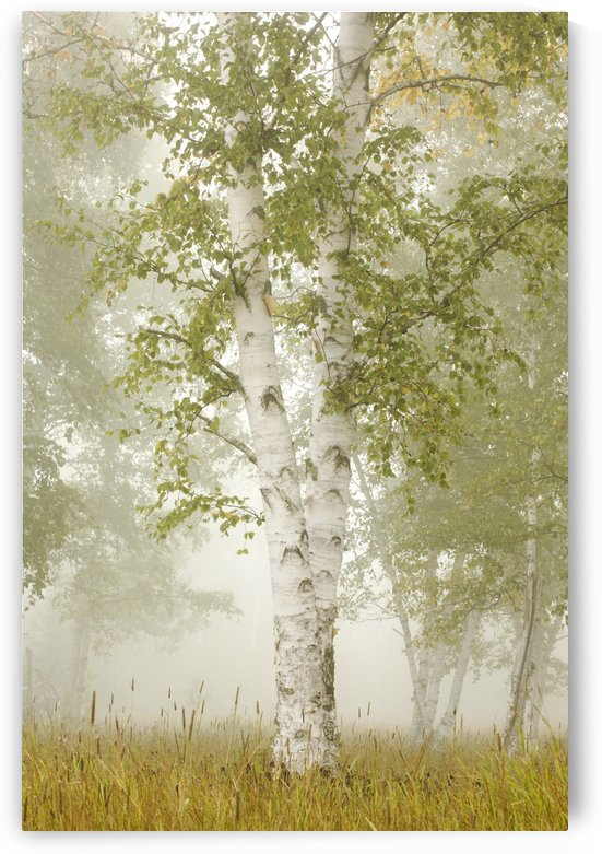 Birch Trees In The Fog; Thunder Bay, Ontario, Canada by PacificStock