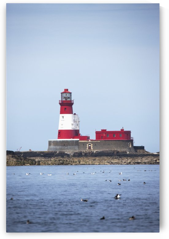 Longstone Lighthouse And Guillemot In The Water; Farne Islands, Northumberland, England by PacificStock