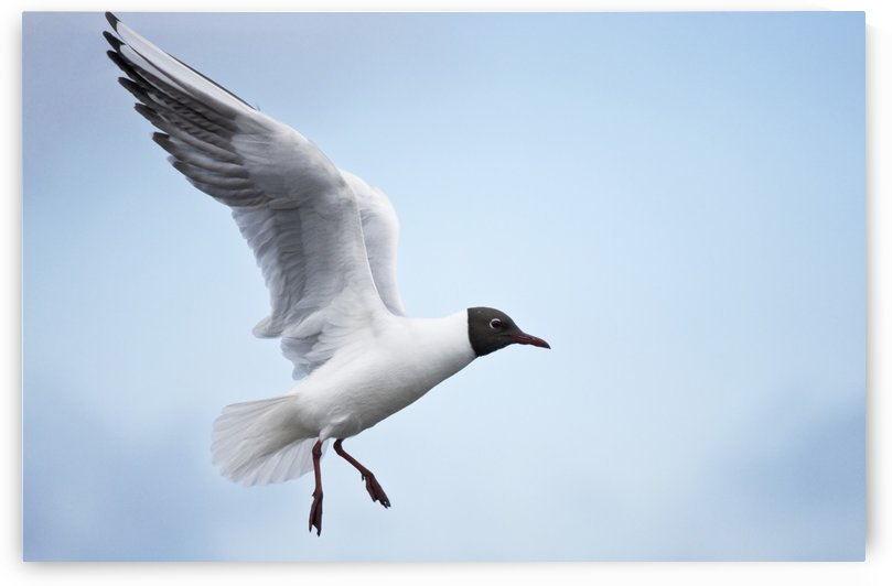 Bonaparte's Gull (Chroicocephalus philadelphia) in flight, Farne Islands, Northumberland, England by PacificStock