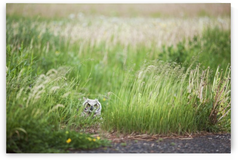 Owl In The Grass; Thunder Bay, Ontario, Canada by PacificStock