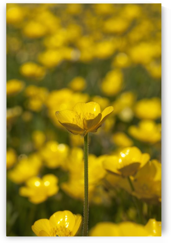 A Field Of Yellow Buttercups; Northumberland, England by PacificStock