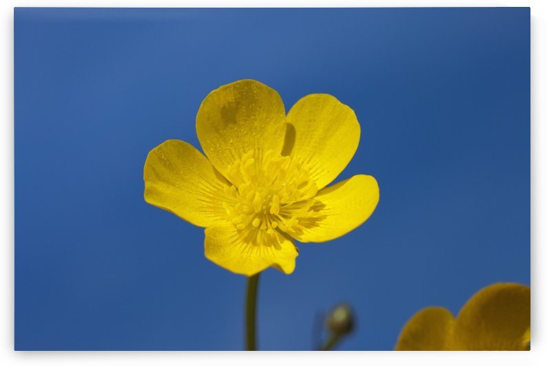 A Yellow Buttercup Against A Blue Sky; Northumberland, England by PacificStock