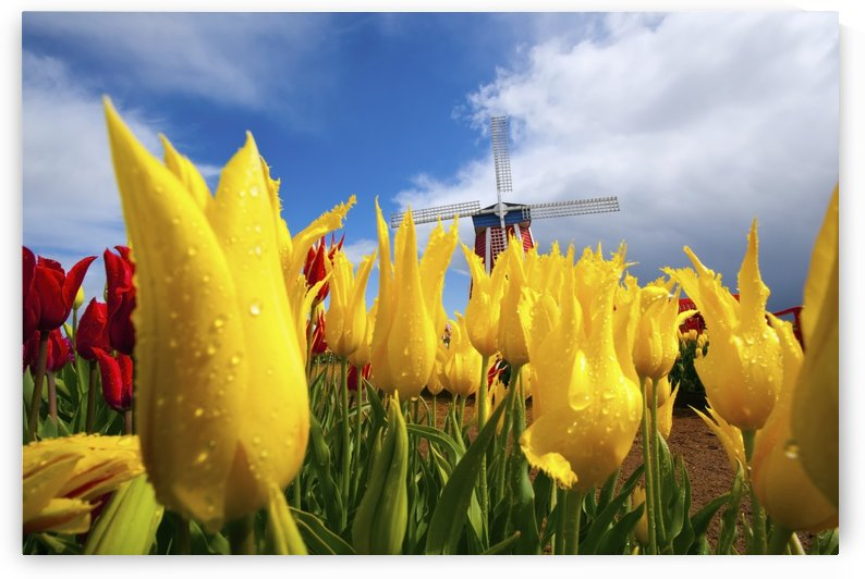 Tulips In A Field And A Windmill At Wooden Shoe Tulip Farm; Woodburn, Oregon, Usa by PacificStock